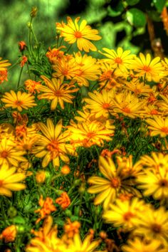 Yellow daisys in my front flower bed. By Paul Koester.