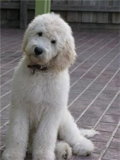 types of goldendoodle haircuts Goldendoodle Haircuts, Goldendoodle Grooming, Dog Haircuts, Maltipoo, Dog Grooming, Cute Dogs And Puppies, Big Dogs, I Love Dogs, Doggies