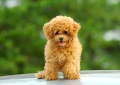 Share, read and enjoy all poodle stories. We have funny stories, inspiring stories, dramatic stories and more. Tell other poodle fanatics why your pet is so special!
