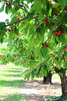 Im living driving into town at the moment there are fat red cherries on every branch!