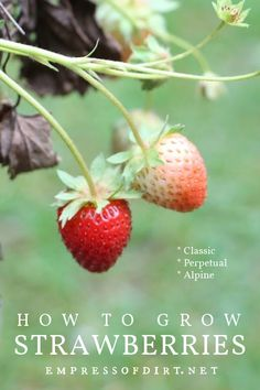Tips for growing strawberries for fruit from spring to fall with classic, alpine, and perpetual varieties.