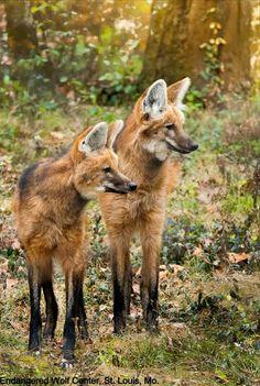 Maned Wolves