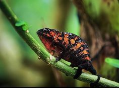 Panther chameleon (Furcifer pardalis) © Andrea Piazza