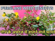 Benefits of PURSLANE/Portulaca oleracea/Purslane leaves. - YouTube Portulaca Oleracea, Friends With Benefits, Medicinal Plants, The Creator, Medicine, Leaves, Youtube, Healing Herbs, Medical