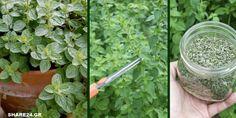 Τα Μυστικά της Καλλιέργειας της Ρίγανης, που θα Πρέπει να Ξέρετε πριν Φυτέψετε! -idiva.gr Terrace Garden, Herb Garden, Amazing Gardens, Backyard Landscaping, Garden Wedding, Garden Design, Diy And Crafts, Herbs, Landscape