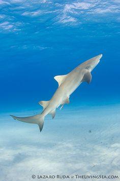 ✯ Lemon shark underwater photograph (Negaprion brevirostris) ~by TheLivingSea.com ✯