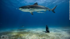 As she floats underwater a shiver of tiger sharks begins to circle. Several meters beneath from the surface, without an air tank, time is running out. But finally, nearby, a camera shutter clicks. Meet Christina Saenz de Santamaria, one half of a husband-and-wife team of world record-holding freedivers, who travel the world teaching the sport and snapping incredible shots along the way.