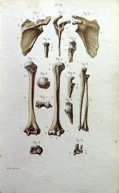 1852 Original antique anatomy bones color by LyraNebulaPrints