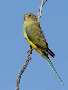 Elegant Parrot   Flickr - Photo Sharing!
