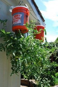 DIY Gardening: Making an upside down tomato, squash, cucmber or strawberry planter / topsy turvy. kitty litter or detergent bucket, soil and plant. Companion flowers or herbs should be grown from the top soil too as a covering to lock in moisture