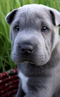 Shar Pei Puppy.. (by LauraWixson)