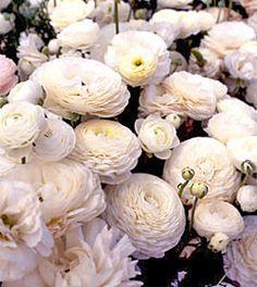 Tecolete White's blossoms are a pure, gleaming white. Description from…