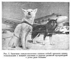 Глава II. Происхождение, экстерьер и породы ездовых собак - Северные ездовые собаки. Аляскинский маламут, Сибирский хаски , Самоед. Уход, содержание, кормление, спорт. Щенки, продажа щенков