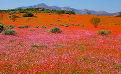 Namaqualand daisies in South Africa Desert Flowers, Wild Flowers, South Afrika, Africa Destinations, Out Of Africa, Beaches In The World, Wonderful Flowers, Amazing Nature, Beautiful Places