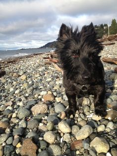 Joe's beloved Tilda at her favorite place, Lowman Beach, Seattle WA