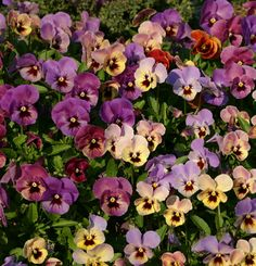 Pansies wilt and die in the heat, but thrive in cold weather when everything else quits. I love these perky little plants!