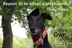Retired Greyhound Trust Lovely,docile and loyal. These dogs deserve a second chance in a loving home!