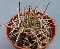 Neochilenia Echinus (Eriosyce paucicostata echinus)