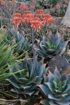 Aloe (Aloe maculata x striata)We have lots of this aloe about Agaves, Shade Garden, Garden Plants, Drought Resistant Plants, Coral Garden, Desert Plants, Cacti And Succulents, Amazing Flowers, Garden Planning