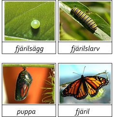 Monarch Butterfly Life Cycle: egg, larvae, pupa, and adult Waldorf Preschool, Preschool Rooms, Learn Swedish, Swedish Language, Monarch Caterpillar, Butterfly Life Cycle, Montessori Classroom, Montessori Materials, Life Cycles