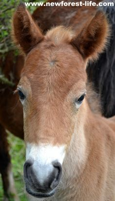 My little New Forest pony foal