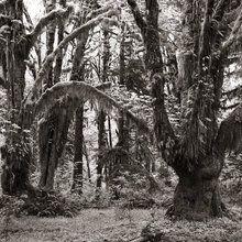 Valokuvatapetti - Rain Forest - Sepia