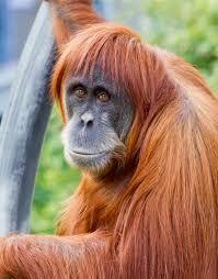 Image result for orangutan