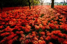 Lycoris in Kinchakuda, Saitama. The Kinchakuda area is the biggest place where lycoris are grown. You can see this beautiful sight in every year from September to October.