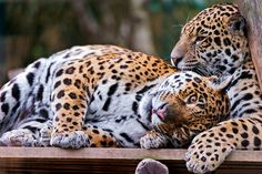 Young jaguar playing with his mother II   Flickr - Photo Sharing!