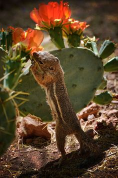 Desert dweller gets Lunch  from a cactus by Saija Lehtonen