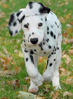 Dalmatian ...we'll have a Dalmatian plantation, where our population can grow