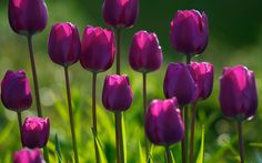 3D Spring Purple Tulips Nature Wallpapers For Desktop HD Purple tulips - my favorite!