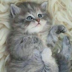 Very #Cute #fat #cat with #beautifull #adorable #blue #eyes