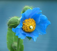 Himalayan Blue Poppy Bouquet Himalayan blue poppy photo