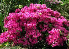 evergreen shrubs - Google Search