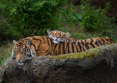 Tigers - Cat Nap by John Vargas on 500px