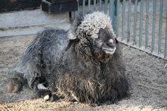 Tiroler Steinschaf am 25.2.2010 im Zoo Berlin.