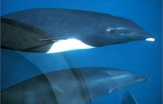 Southern right whale dolphins