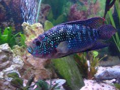 A Jack Dempsey fish