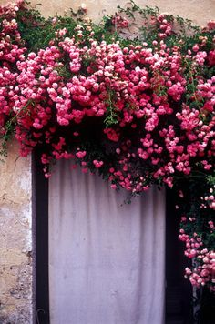 tumbling roses.