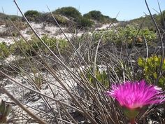 September's wild flowers at the Cape - plant