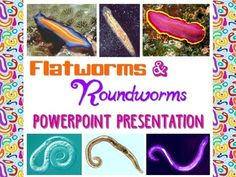 75 Slides (in both .pptx and .pdf format).The Flatworm and Roundworm Notes Handouts covers the following topics and more:What is a Flatworm?Flatworm Body Systems ClassificationParasitismClass Turbellaria- characteristics and examplesClass Cestoda- characteristics and examplesClass Trematoda- characteristics and examplesClass Monogenea- characteristics and examplesWhat is a Roundworm?Roundworm Body SystemsAbundance, Importance, and ParasitismHookworms, Pinworms, Trichi...