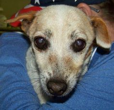 Can be euthanized for space at any time!  Meet Lily a female senior - a 14 year old Chihuahua/JRT mix who was turned into the shelter by her owners family when her owner passed away. She is a sweet,shy little girl that just wants to be cuddle on. Lily is approx 10-15 lbs. Lily's adoption fees are sponsored so there would be no fee for her adoption. If you can help Lily out by offering to foster or adopt her please email savingfurryfriends@yahoo.com Transport on the east coast can be…