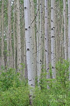 Aspen Forest Photograph by Christopher Kolaczan - Aspen Forest Fine Art Prints and Posters for Sale