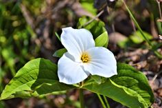 For those of you who live in Ontario Canada, you will recognize our provincial flower, the trillium.  One of the most beautiful flowers on the planet.  Spotted this one on the road-less-travelled near the cottage.