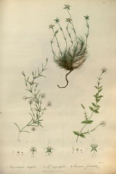 Illustrations of the botany and other branches of the natural history of the Himalayan Mountains and of the Flora of Cashmere. By J. Forbes Royle. Published 1839.