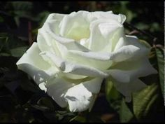 Kate Bush - Under The Ivy