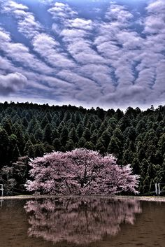Cherry Blossom, Forest, & Heavenly Blue ~ Nara, Japan