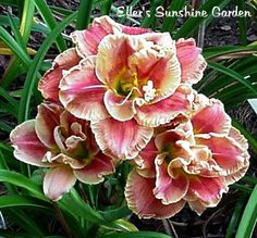 Daylily 'Amanda's Little Red Shoes'