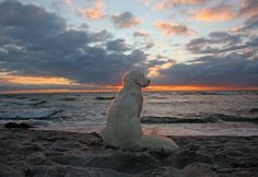 "Golden Retriever Ditte: ""The sunset dog"" by Ingrid0804 on Flickr"